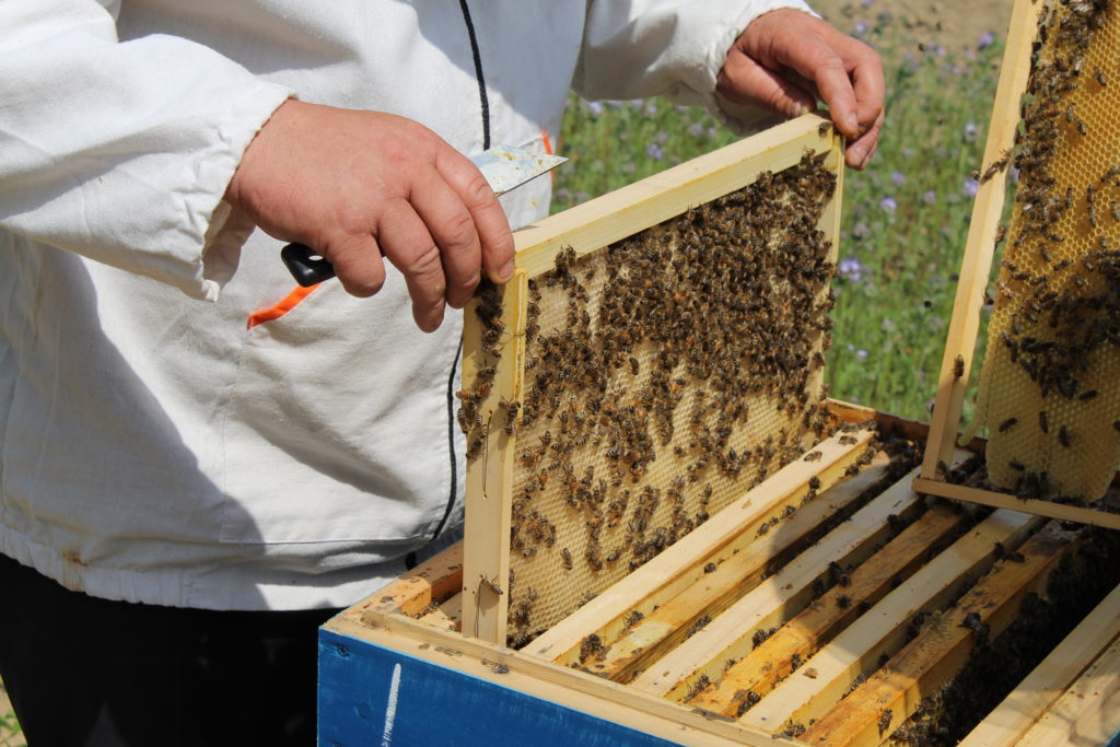 Осмотр пчелиной семьи, пасека МЕдовый Крым