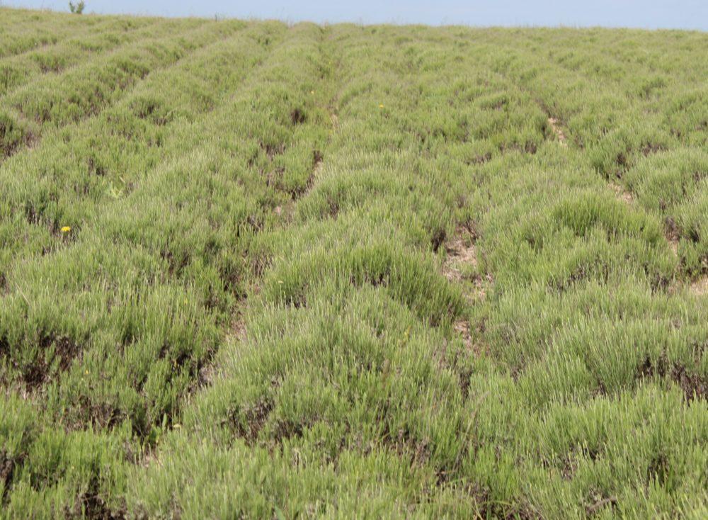 Лавандовое поле, конец мая , Крым
