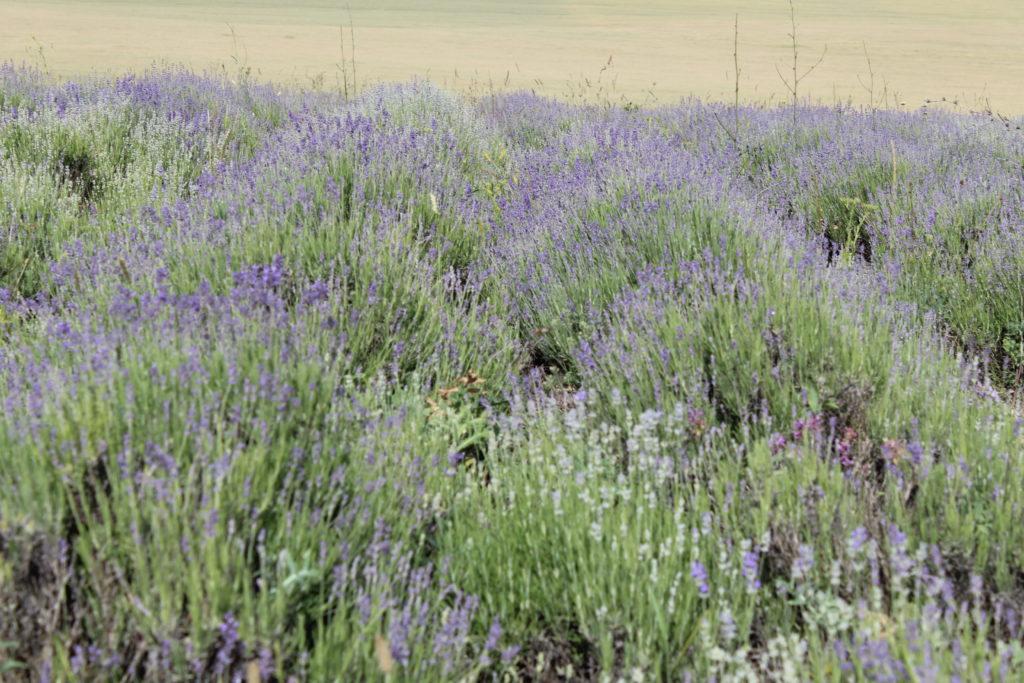 Лавандовое поле в цвету