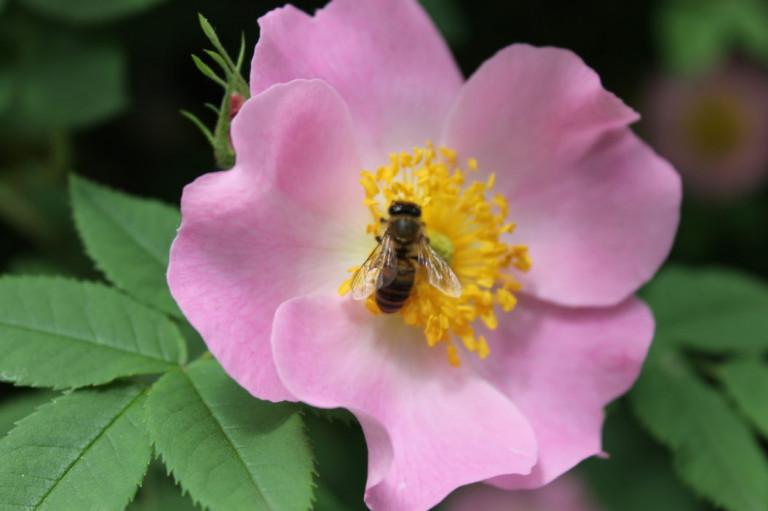 Польза лепестков чайной розы