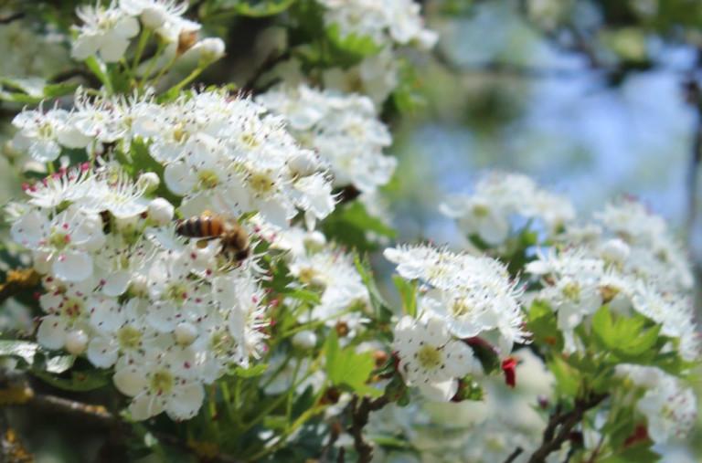 Пчела на боярышнике