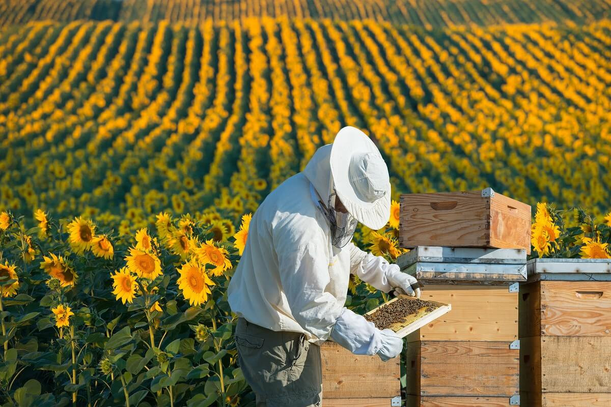 34517931 - beekeeper working in the field of sunflowers