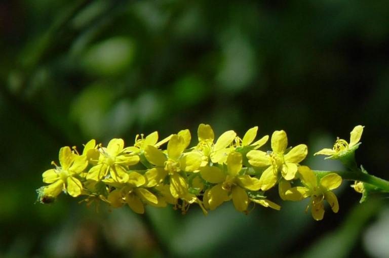 Репешок – растение-целитель